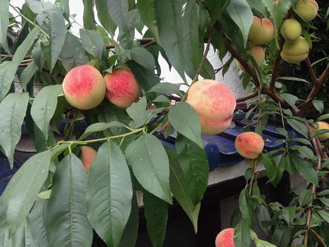 Fruit_tree
